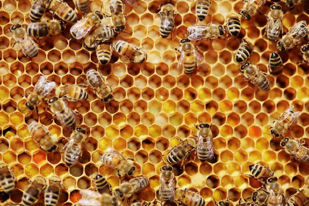 Bees-giving-their-honey-onto-a-honeycomb